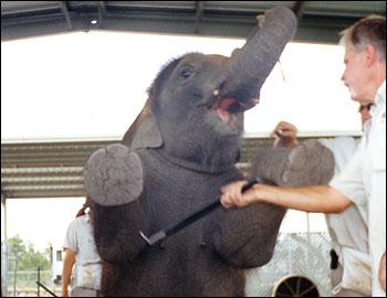 ele circus bullhook 2