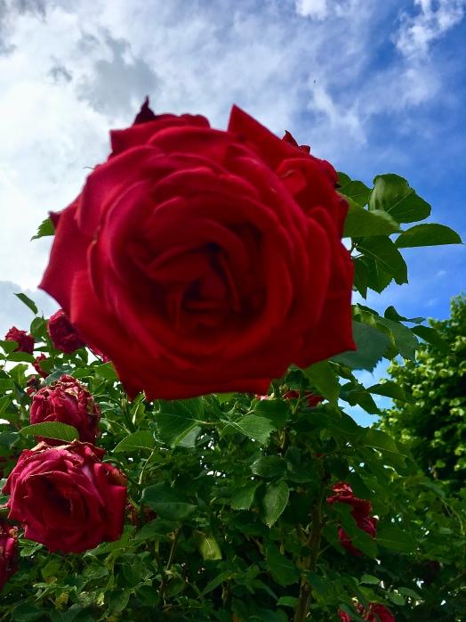 Burzi rose