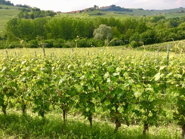 Burzi vineyard 2